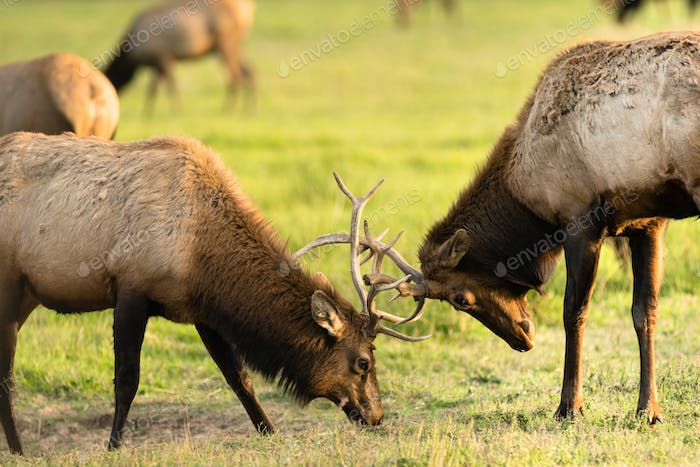 Two Male Bull Elk Sparring Testing Big Game Animal Wildlife
