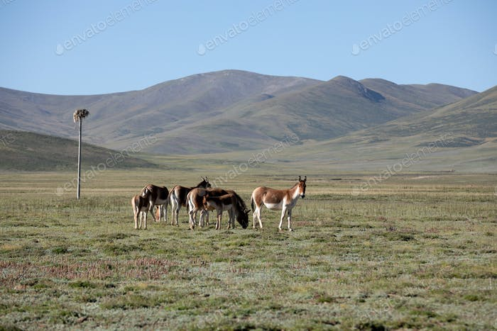 Equus kiang in high altitude grassland