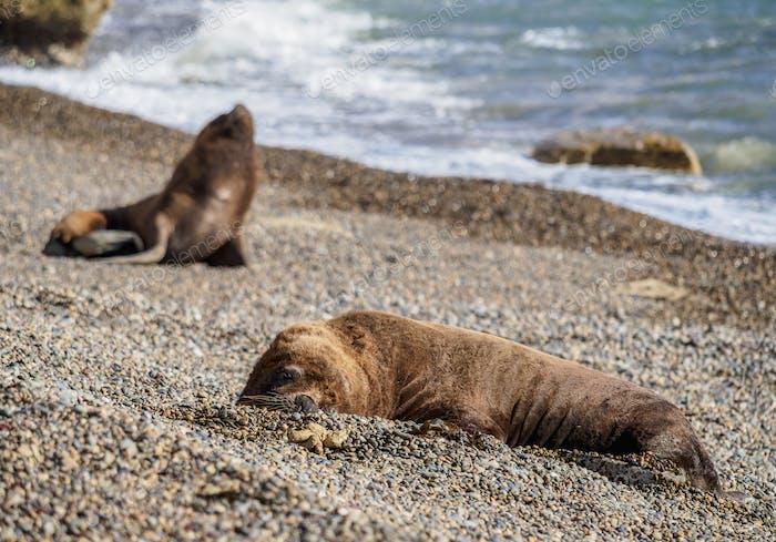 South American Sea Lions at Punta Ninfas, Patagonia, Argentina