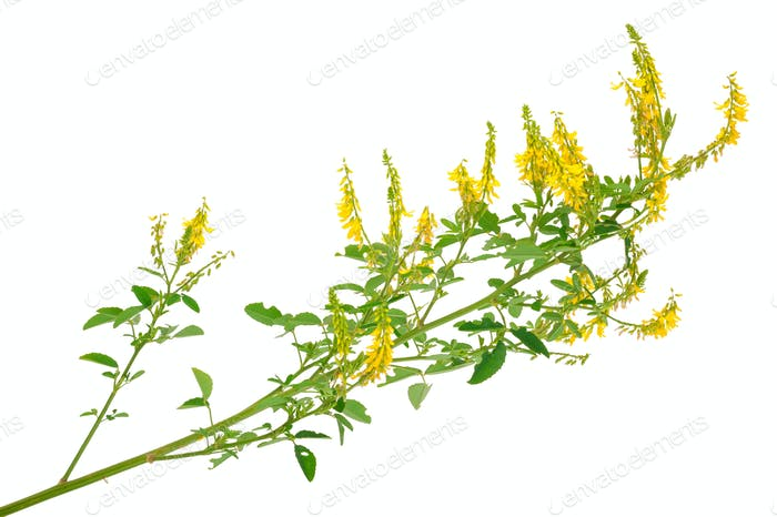 Medicinal plant: Melilotus officinalis (Yellow Sweet Clower)