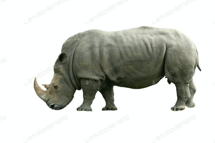 Isolated White Rhinoceros on white