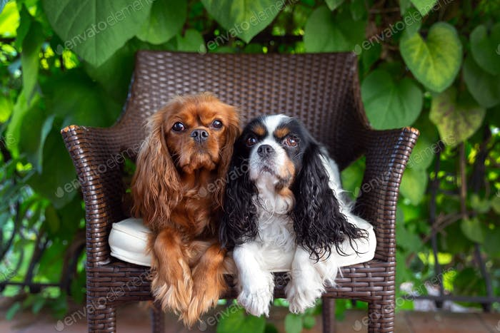 Two dogs on the chair