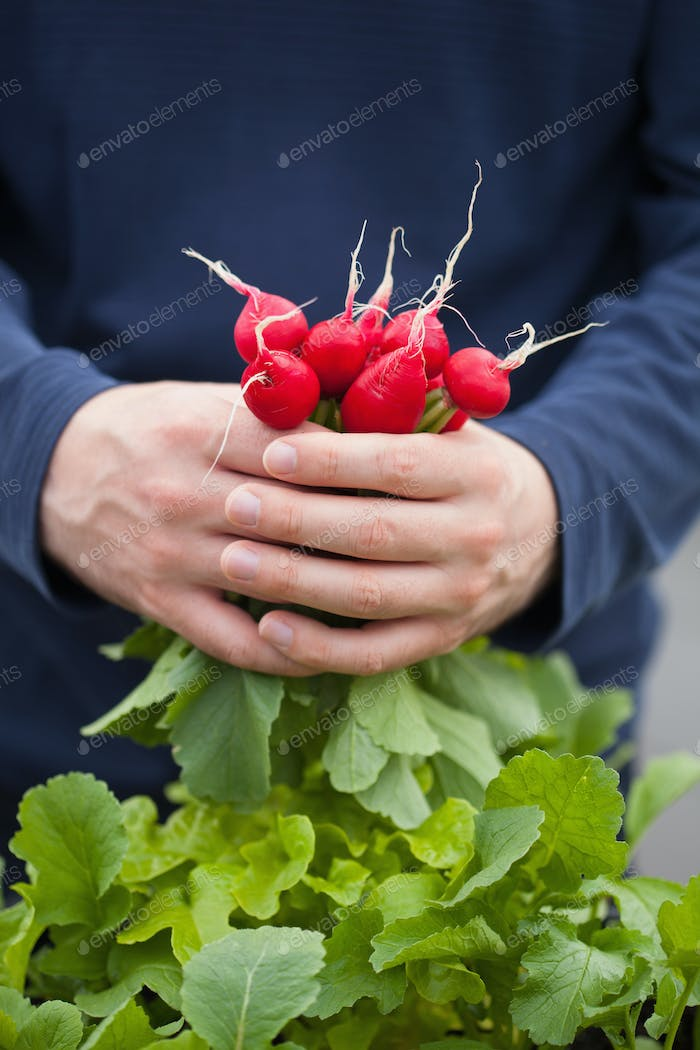 man gardener picking radish from vegetable container garden on b