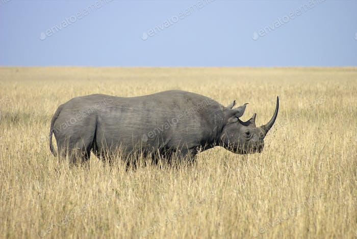 Afrikanisches schwarzes Rhino32