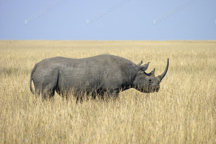 African black rhino32