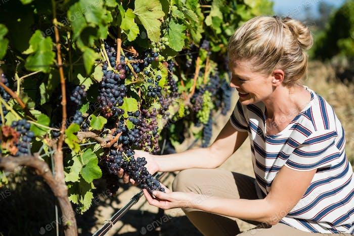 Female vintner examining grapes in vineyard