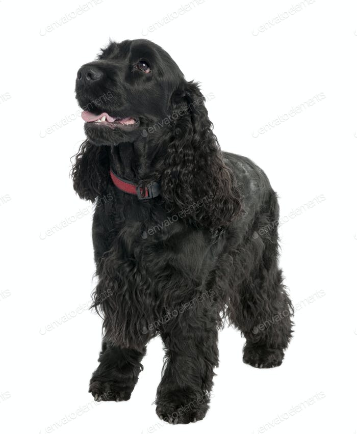English Cocker Spaniel (2 years old)
