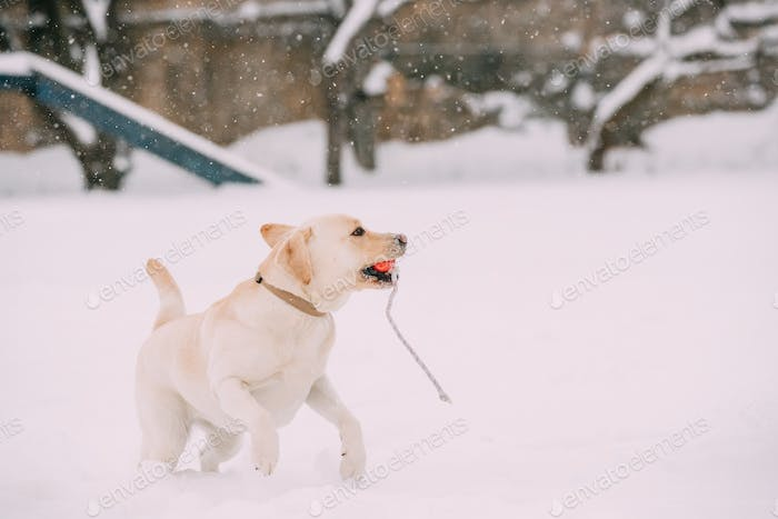 Labrador Dog Play Run Outdoor In Snow, Winter Season