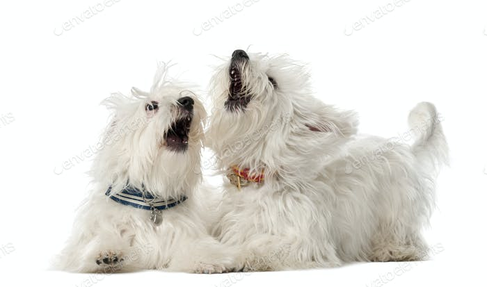 Two Maltese dogs, 2 years old, lying and play fighting against white background