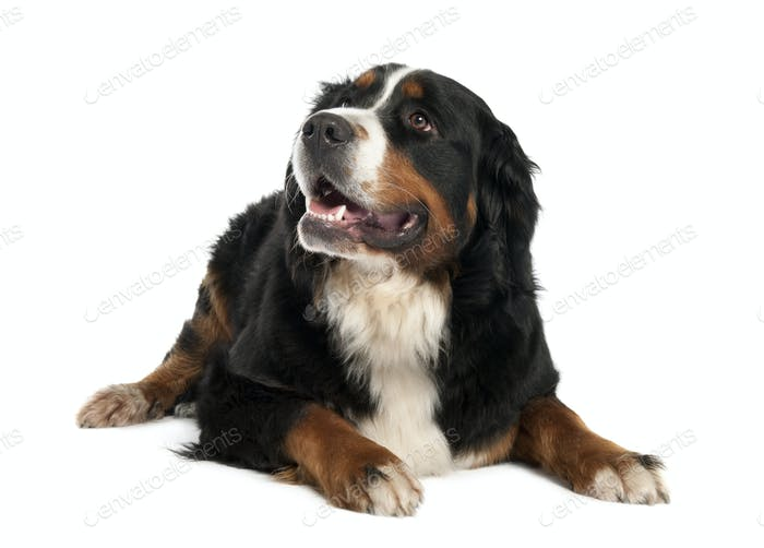 Bernese mountain dog (13 months old)
