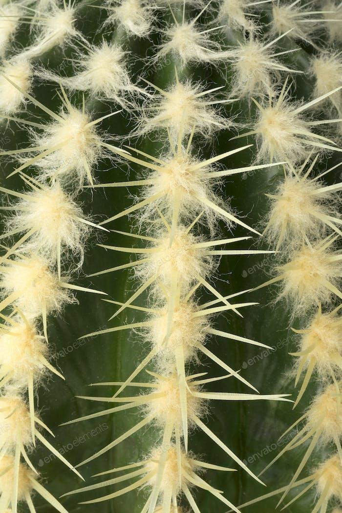 Cactus plant close up