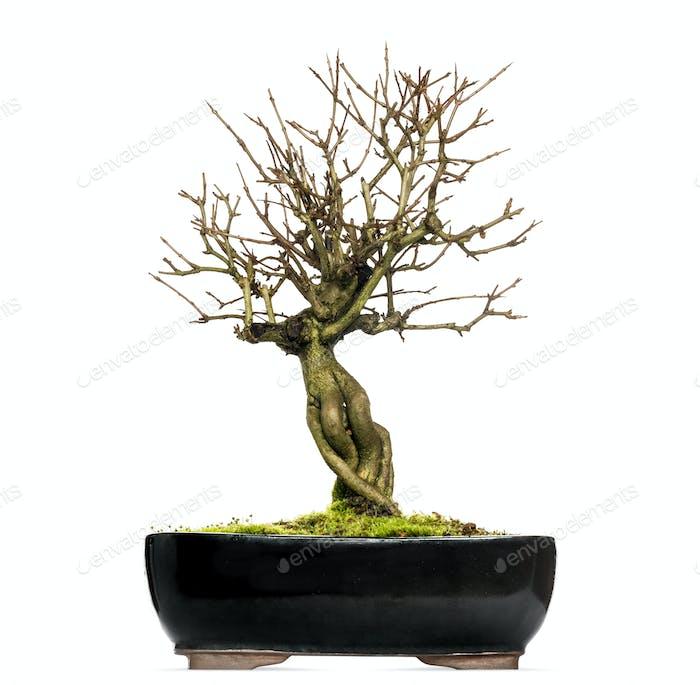 Granatapfelbonsai-Baum, Punica granatum, isoliert auf weiß