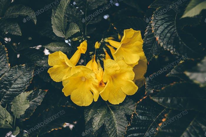 Flores amarillas de la vid de trompeta