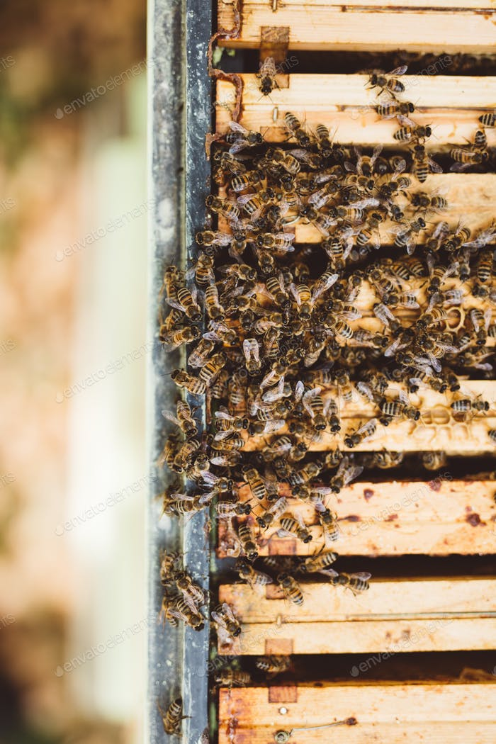 Honey bees inside their hive