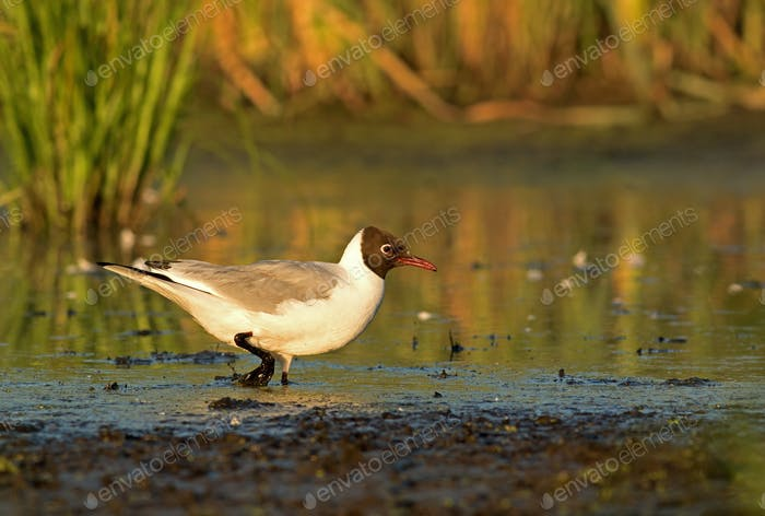 Black-headed Gull (Larus ridibundus) wading in the mud