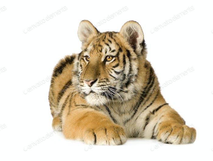 Tigerjunges (5 Monate)