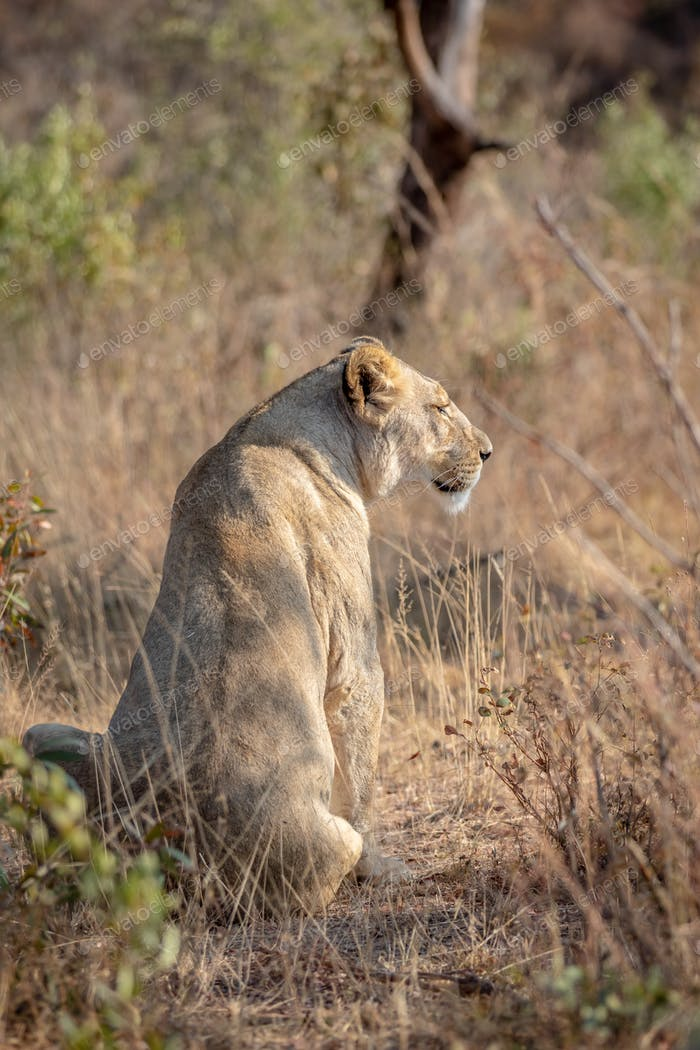 Lioness sitting in the grass and looking.