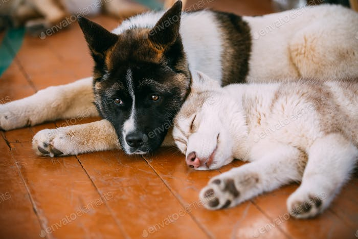 Young Happy Husky Puppy Eskimo Dog And American Akita