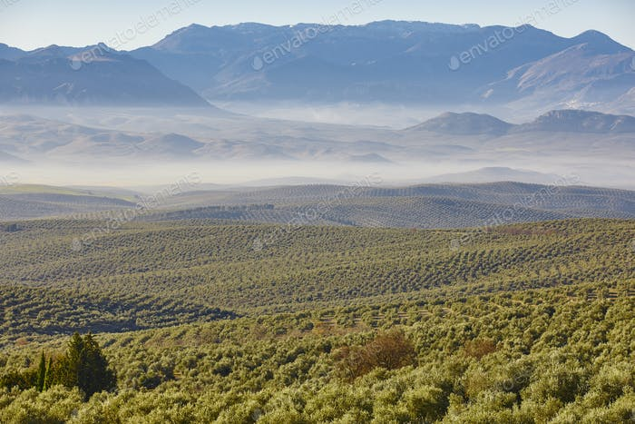 Olive tree fields in Andalusia. Spanish agricultural harvest landscape. Spain