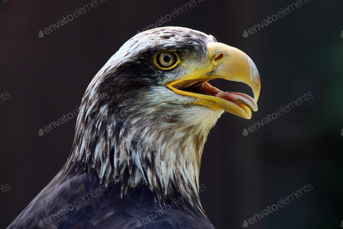 Portrait of an American Eagle with a dark background