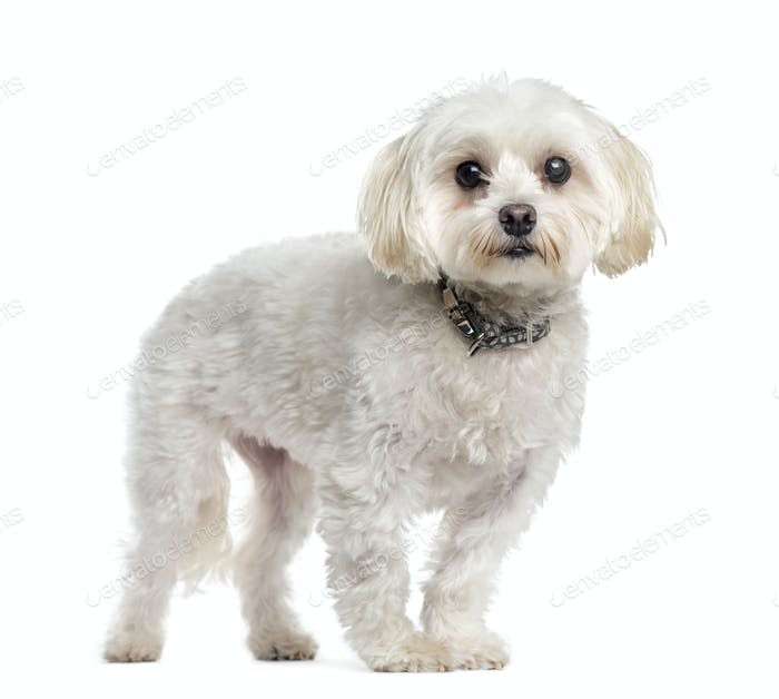 Maltese dog standing, cut out