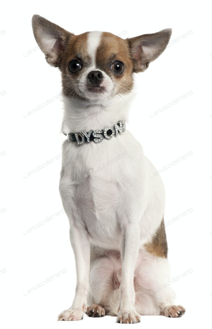Chihuahua wearing diamond name tag collar sitting in front of white background