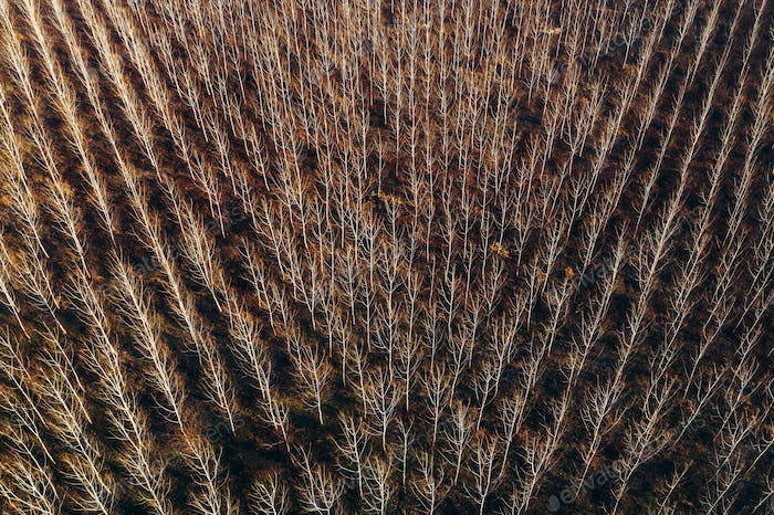 Aerial photography of bare aspen treetop in winter woodland