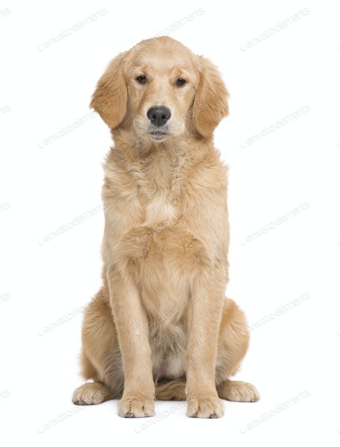 Golden Retriever puppy (5 months)