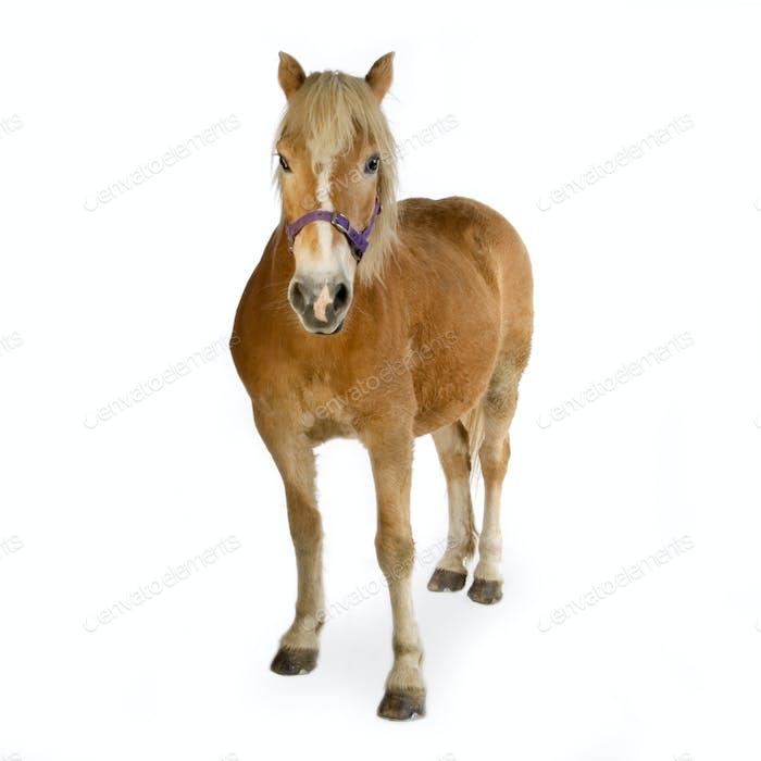 Haflinger - Horse (23 years)