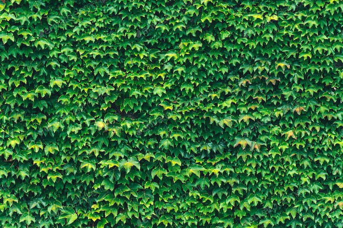 Texture of ivy leaves closeup. Green wall.