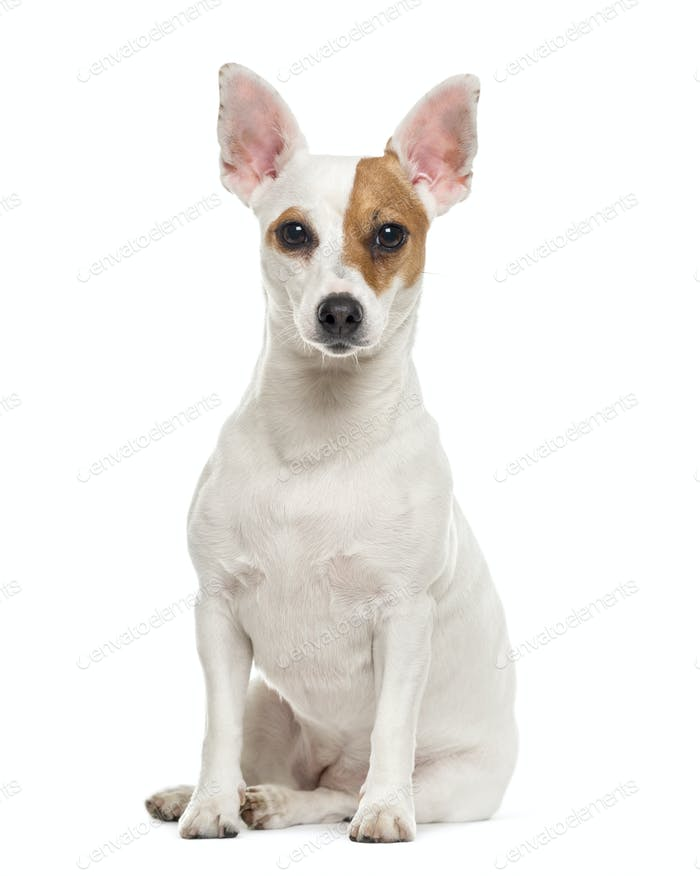 Jack Russell Terrier sitting, 3 years old, isolated on white