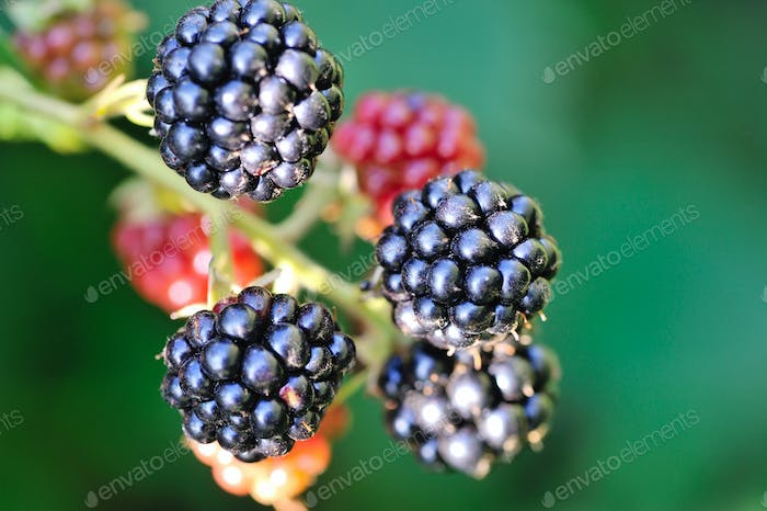 Growing fresh blackberries in a garden. Close Up