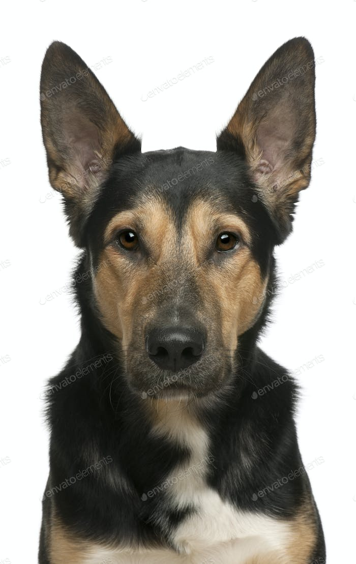 Mixed-breed dog, 2 years old, in front of white background