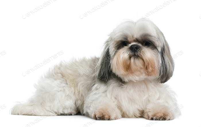 Shih Tzu, 8 years old, in front of white background