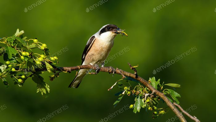 Male red-backed shrike sitting on a twig and holding insect in beak in summer