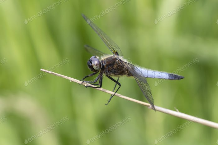 Close up of dragonfly sitting on stem