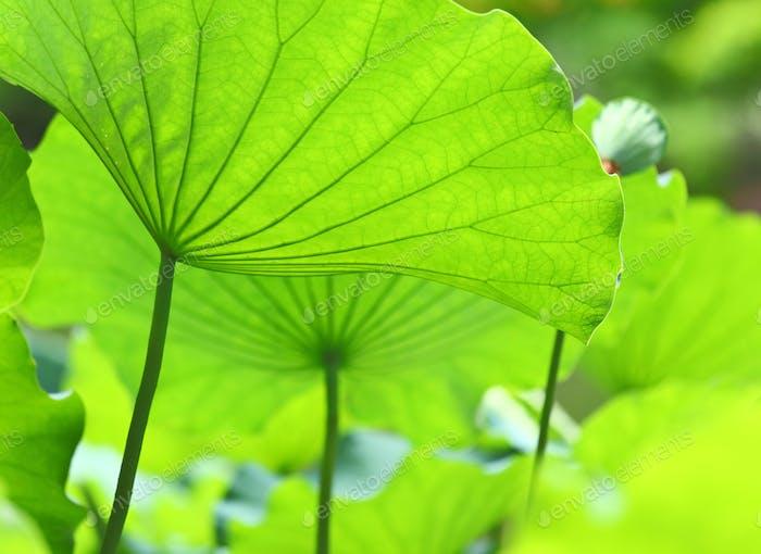 Lotusblätter