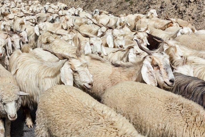 Herd of Pashmina sheep and goats in Himalayas