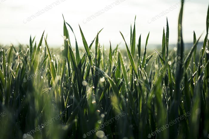 Beautiful Close Up of Rich Green Grass in Morning Light with Water Drops and Bokeh