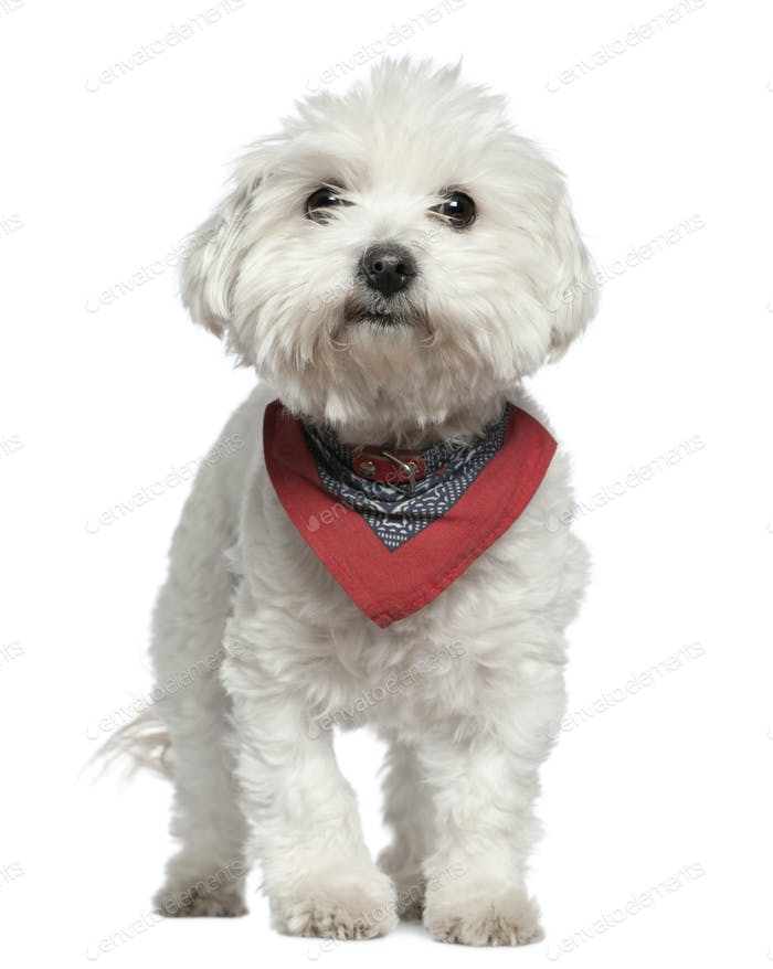 Maltese dog in handkerchief, 3 years old, standing in front of white background