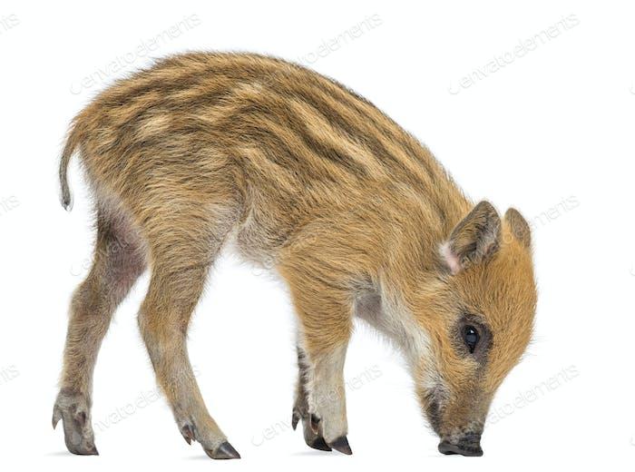 Wild boar, also known as wild pig