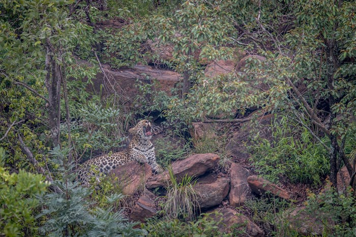 Leopard layig on a rock and yawning.