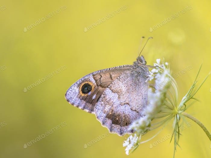 Tree grayling butterfly