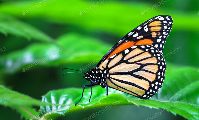 Adult Monarch Butterfly on a Leaf