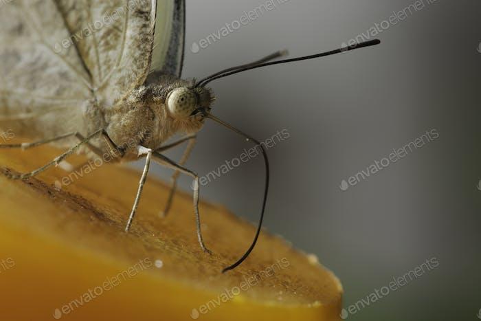 Tropischer Schmetterling saugt Nektar und Fruchtsäfte