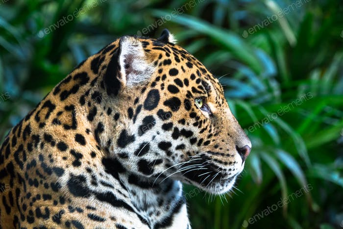 Jaguar Looking Into the Distance