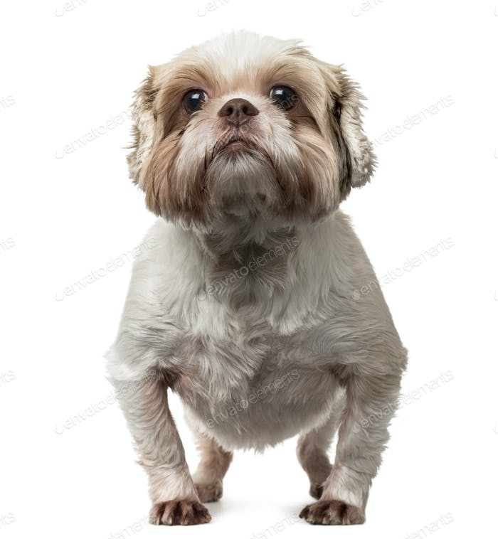 Shih Tzu standing up, isolated on white