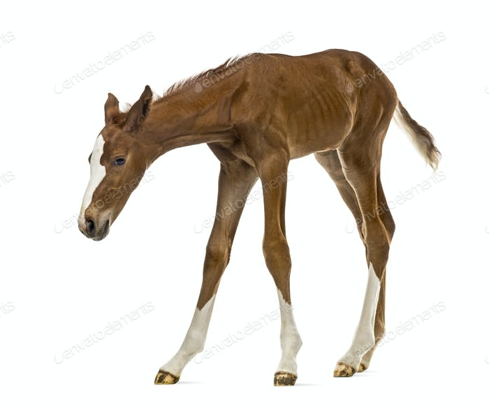 Foal sniffing and looking down isolated on white