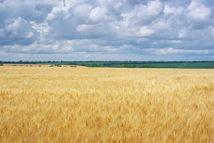 Naturlandschaft von Weizen Neadow
