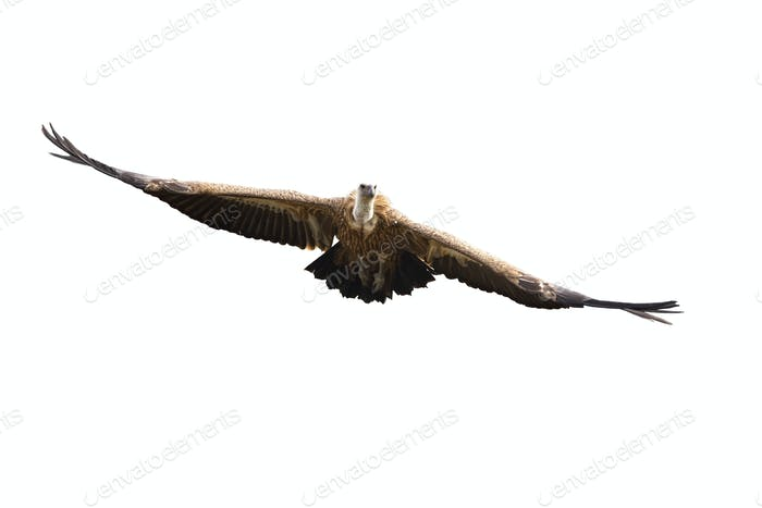 Griffon vulture flying with spread wings isolated on white background